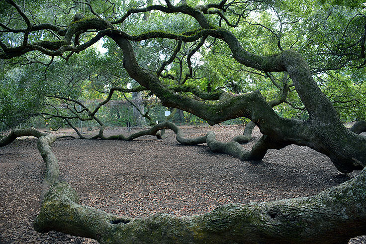 Angel Oak near Charleston, SC