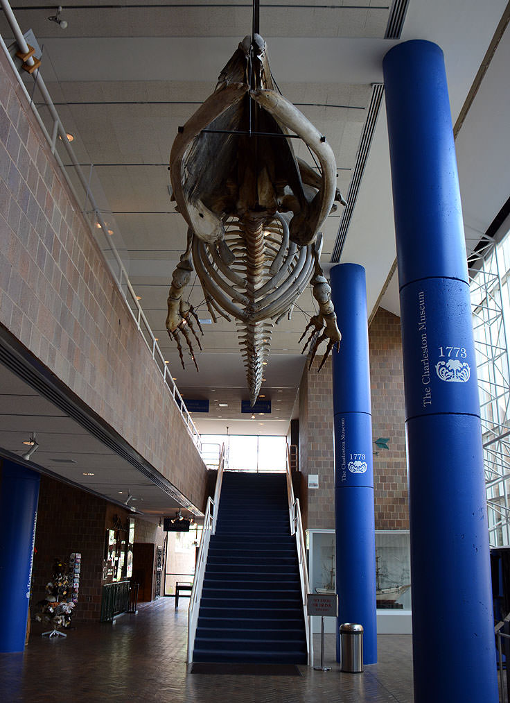 Whale Skeleton at The Charleston Museum