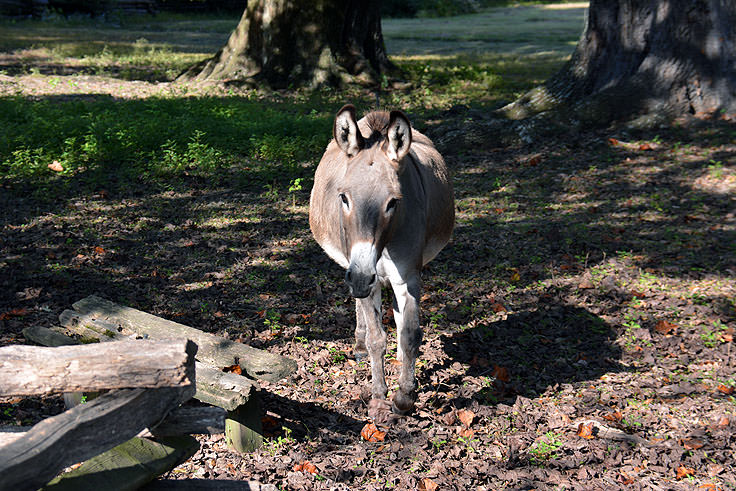 A burro at Magnolia Plantation in Charleston, SC