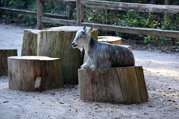 A goat in the petting zoo at Magnolia Plantation in Charleston, SC