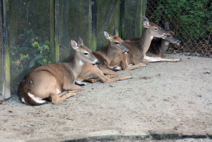 Deer in the petting zoo at Magnolia Plantation in Charleston, SC
